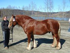 Dølehest - stallion Vollaug Sølve