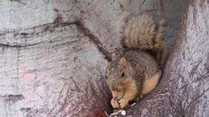 This Fox Squirrel is so Mellow #aww #Cutesquirrels #squirrel #boopthesnoot #cuddle #fluffy #animals #aww #socute #derp #cute #bestfriend #itssofluffy #rodents #squirrelsofpinterest