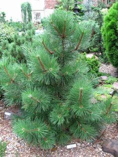 juniperus procumbens 39 nana 39 juniper 39 nana 39 japanese. Black Bedroom Furniture Sets. Home Design Ideas