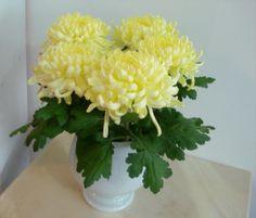 Vaso com grandes Crisantemos amarelos. Chrysanthemum, Herbs, Plants, Floral Arrangements, Flower Arrangements, Yellow Chrysanthemum, Weddings, Vases, Herb