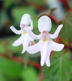 La fleur Impatiens Bequaertii