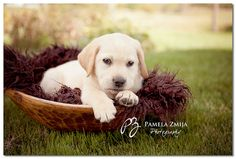 Yellow Lab Puppy, Puppy Pictures, Puppy Photography, Pamela Zmija Photography, Animals are Family too!