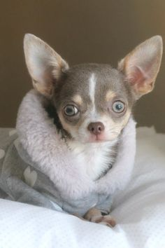 Effective Potty Training Chihuahua Consistency Is Key Ideas. Brilliant Potty Training Chihuahua Consistency Is Key Ideas. Chihuahua Puppies, Cute Puppies, Cute Dogs, Dogs And Puppies, Baby Animals, Cute Animals, Akita, Mundo Animal, Baby Dogs