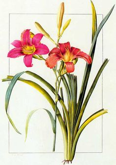 Picturing Plants and Flowers: Redouté: Day Lily