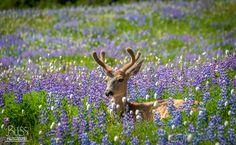 I Love Sun and Flowers - Super friendly deer on Hurricane Ridge in Olympic National Park.