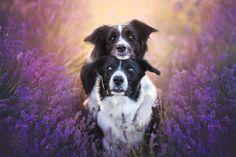 Rozkošné psíky v levanduľových poliach je to, čo vám dvihne náladu počas sychravých dní! - Europa 2