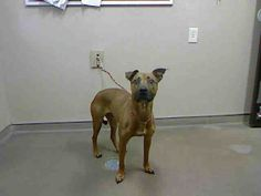 CINNAMON - ID#A730271  My name is CINNAMON.  I am a spayed female, brown Pit Bull Terrier mix.  The shelter staff think I am about 6 years old.  I have been at the shelter since Jul 27, 2013.