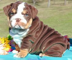 Chocolate bulldog puppy lake bg