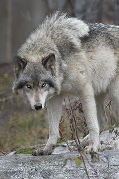 "wolfsheart-blog: "" Grey Wolf Photo by Rudy in Ottawa on Flickr. """