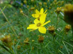 Yello flower (cosmos) 2 by pixizone on deviantART