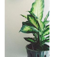 Dumb Cane (Dieffenbachia) | 15 Beautiful House Plants That Can Actually Purify Your Home