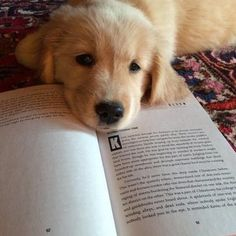 Golden Retriever who looks like he wants someone to read to him.A Golden Retriever who looks like he wants someone to read to him. Cute Puppies, Cute Dogs, Dogs And Puppies, Doggies, Animals And Pets, Baby Animals, Cute Animals, Funny Animals, Retriever Puppy