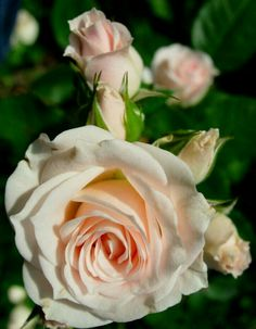 ~Lovely Baby Pink Rose~