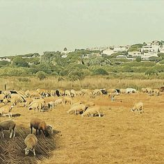 Vale do Lobo sheep keep golf course in top condition #valedolobo #QuintadoLago seems a world away amidst the shepherds cunning peasants & favelas @valedolobo  quinta do lago #golf #algarve #portugal #throwbackthursday