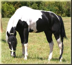 Spotted Mountain Horse stallion-Quillan-Black Horse | New Horses |
