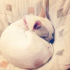 I'm sleeping... #dog #chihuahua