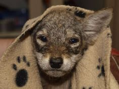 """Coyoda says """"Cute and wise coyote pup I am. Yes, hmmm """""""