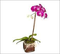 An homage to Nero Wolfe.  Live Phalaenopsis Orchid In Glass Vase #potterybarn