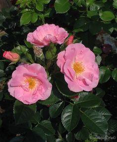 ~Rugosa rose 'Pink Robusta', Kordes 1986