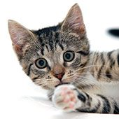 Caring For a Young Kitten | HomeAgain Pet Lifestyle Articles