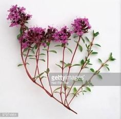 Thymus serpyllum, c - Google Search Thymus Serpyllum, Herbs, Wreaths, Garden, Veggies, Google Search, Decor, Garten, Vegetable Recipes