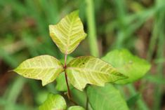 Are you worrying about how to dry up poison ivy rash? This article will help you with the ways to get rid of them.