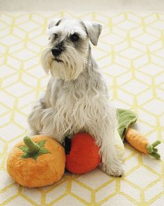 This new plush toy line from P. is made with the same high standards of quality as their award-winning beds and, like their beds, each toy is stuffed with eco-friendly filler made from recycled plastic bottles. Garden Fresh toys are available i Miniature Schnauzer Puppies, Schnauzer Puppy, Schnauzers, Pet Spa, Dog Milk, Dog Collar Tags, Pet News, Beautiful Dogs, Dog Grooming