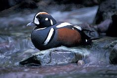 Glacier National Park -  It appears the Harlequin ducks have made their spring return to Glacier. The Harlequin duck, (Histrionicus histrionicus) is a rare sea duck that can be found near rushing streams.