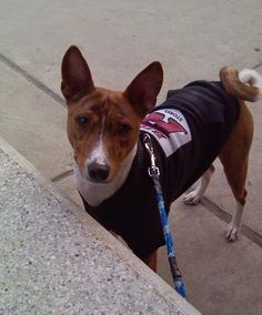 """Jumoke (Mocha Joe) Basenji---master of the sad """"surely you're not going to eat the entire thing yourself"""" eyes."""