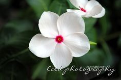 These were labeled Impatiens, but the look like Madagascar Periwinkle, commonly called Vinca, from which the chemotherapy drug Vincristine(tm) is derived.
