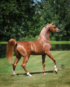 Marwan Al Magnifficoo (US) (2006 chestnut stallion - Polish/Egyptian bloodlines)…