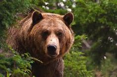 grizzly - Ecosia