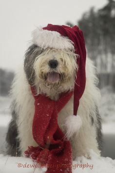 six days to go for Christmas Christmas Puppy, Christmas Animals, Christmas Cats, Cool Pets, Cute Dogs, Funny Animals, Cute Animals, Animal Fun, Portuguese Water Dog