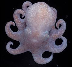 Awww... A newly Discovered species of deep sea octopus. Megaleledone setebos lives in the Southern Ocean around Antarctica. This one is a juvenile. It is thought to be the common ancestor of the deep-sea octopuses that ride the 'Antarctic thermohaline expressway' - a mass of fast-moving water that moves away from Antarctica.