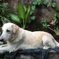 "After shower this morning ""habis mandi minggu pagi"" ... Have a nice Sunday  #goldenretriever #goldeninstagram #dogsofinstagram #dog #doglover #doginstagram by f.ari_setyawan"