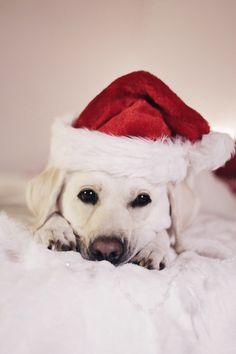🙈❤️ #puppy #labrador #dog #christmas