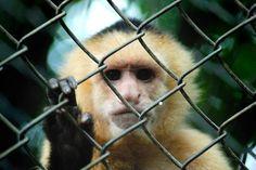 Monkeys Devise a Tool to Break Out of Zoo in Brazil