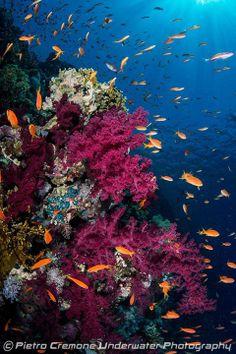 Soft corals - Sharm el Sheik - 2012 ~Pietro Cremone