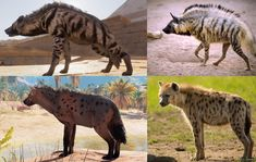 AC Origins actually has two species of Hyenas. The Striped Hyena is actually Egypt's indigenous species but are used solely as boss animals. However the Spotted Hyena found more commonly in Sub-Saharan Africa are the main species found throughout the game.