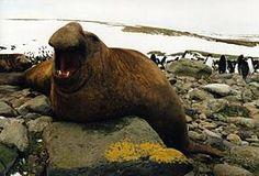 Male southern elephant-seal (Mirounga leonina) on northern shore of Kerguelen Islands Sea Elephant, Elephant Trunk, Vida Animal, Marine Fish, Animal Facts, Blue Whale, Large Animals, Animals Of The World, Biomes