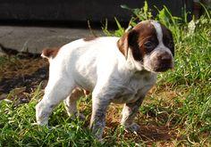 Braque du Bourbonnais, Bourbonnais Pointer Braque Du Bourbonnais, Dog Days, Labrador Retriever, Pets, Animals, Beauty, Labrador Retrievers, Animales, Animaux