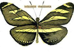 watercolor, aceo, art card, Zebra Butterfly