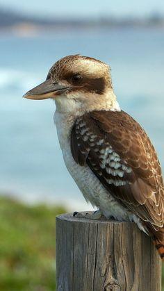 Kookaburra bird - Sitting pretty. Australian bird. aka 'Laughing Jack'