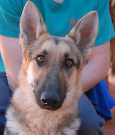 Erica is a perceptive young girl who joyfully bonds with people.  She is an exceptionally beautiful German Shepherd, just under 3 years of age, spayed, and debuting for adoption today at Nevada SPCA (www.nevadaspca.org).  We believe Erica has the temperament to be terrific with kids, but whether she can be around other dogs is unknown at the moment.  At the time of rescue Erica was at another shelter that asked for our help.  We hope you come meet this fun-loving girl!