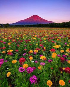 Yamanashi Japan, the perfect floral foreground leading to an epic view of Mount Fuji 🗻 🌺 Photo by Explore. Yamanashi, Beautiful World, Beautiful Places, Monte Fuji, Japan Photo, Japan Picture, Amazing Nature, Belle Photo, Nature Photos