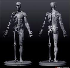muscle_bone_add