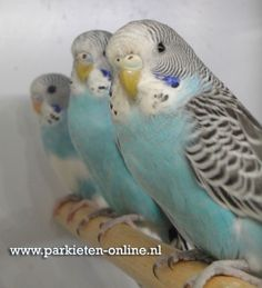 www.parkieten-online.nl Parakeet, Budgies, Grasparkiet,  Parkieten 2016