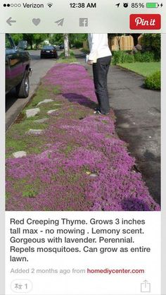 The ground cover for the rose garden: Red Creeping Thyme. grows 3 inches tall max so very neat--no mowing needed ever. gorgeous with lavender. can grow as entire lawn. Red Creeping Thyme, The Secret Garden, Exterior, Lawn And Garden, Garden Bar, Big Garden, Herb Garden, Vegetable Garden, Garden Plants