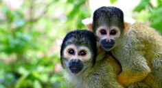 "‪‎Did you know‬ that squirrel monkeys, who are found throughout Central & South America, communicate with the rest of their troop through 25-30 unique calls? Though they are shy and non-aggressive, the German translation of ""squirrel monkey"" is ""death head monkey"" because their black and white faces resemble skulls!"