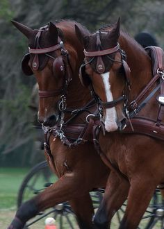 Beautiful team of carriage horses